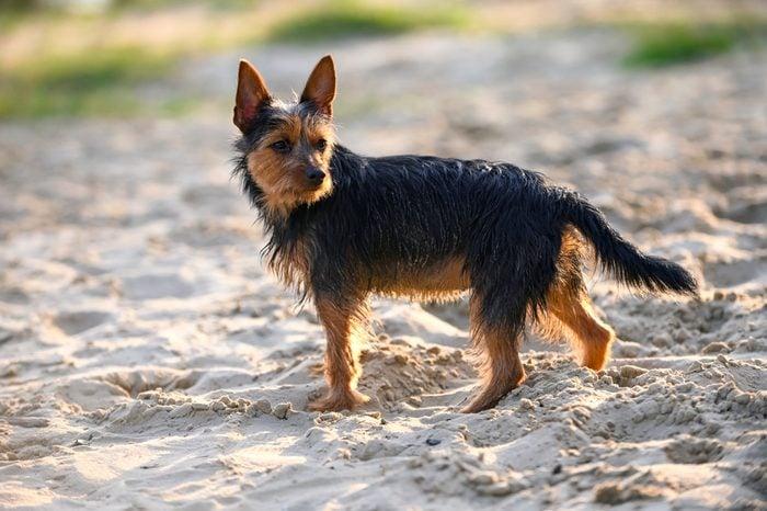 Australian terrier dog standing in sunset rays on beach sand