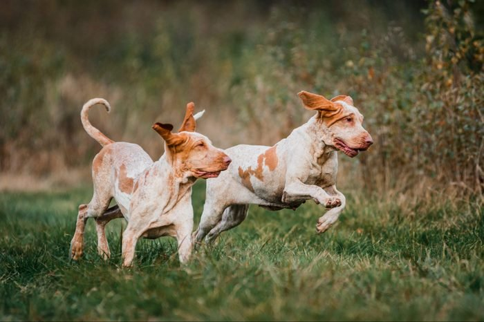 group of Bracco Italiano pointer dogs hunting for fowl