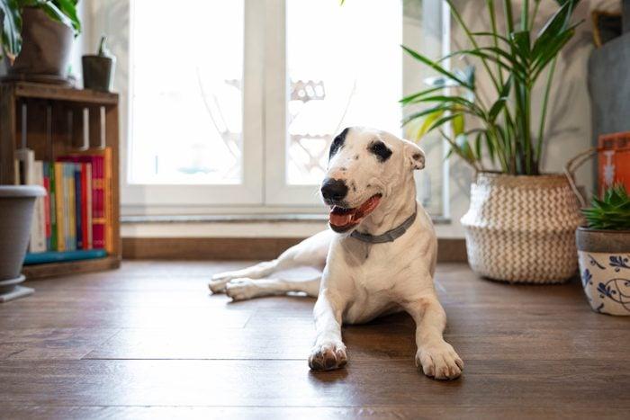 Bull Terrier Dog at Home