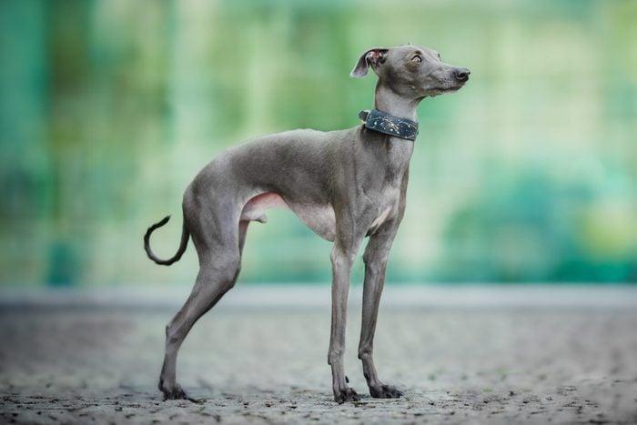 Portrait of italian greyhound standing on road
