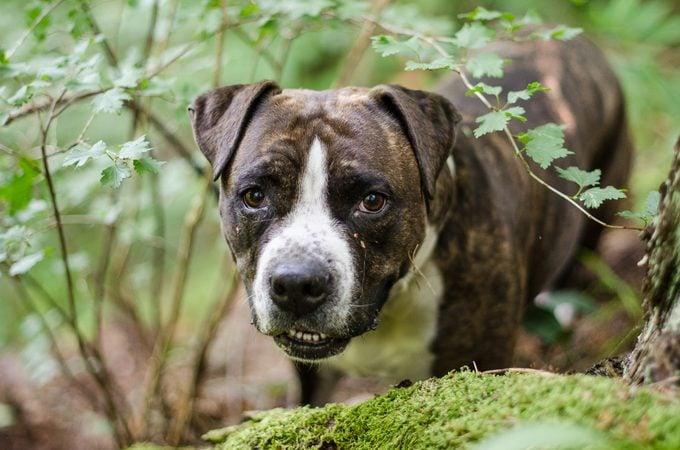 Brindled American Staffordshire Terrier dog