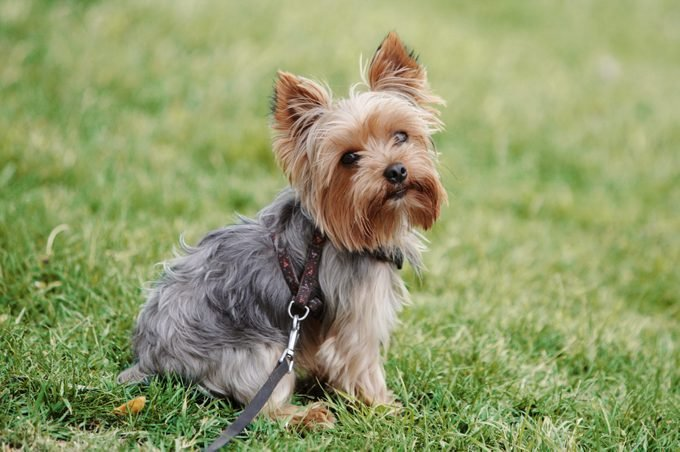 yorkshire terrier sitting on grass outside