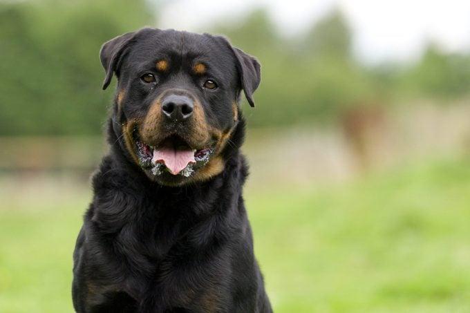 German Rottweiler dog in the park