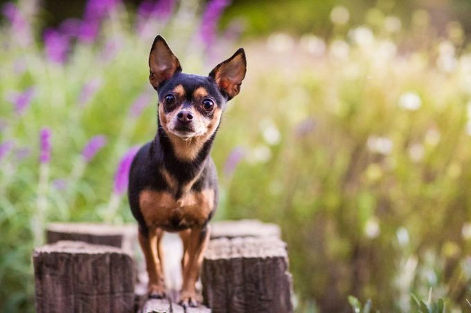A chihuahua standing on top of a wooden fence against a diffuse background of flowers and greenery.