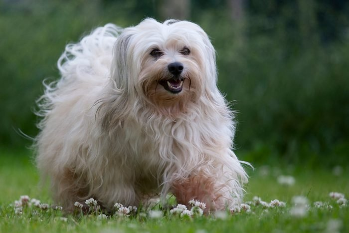A sable colored 6 years young male havanese dog on green grass with daisies