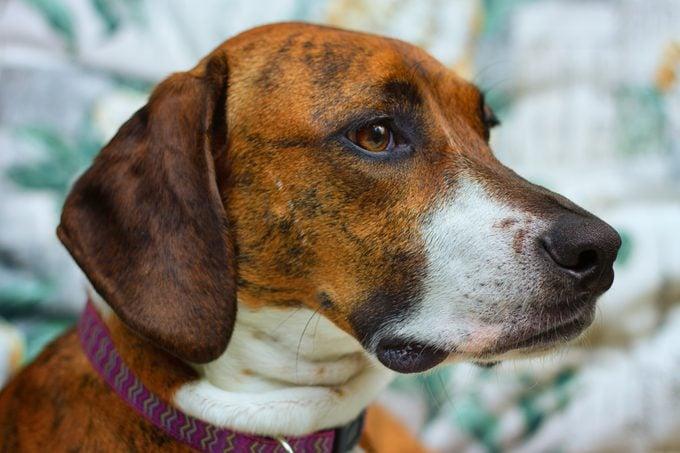 profile of Plott Hound with brindle coat close up