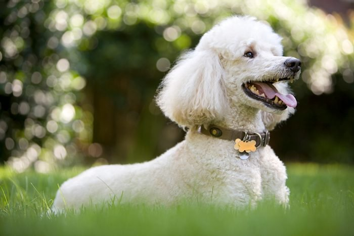 White poodle playing in the yard.