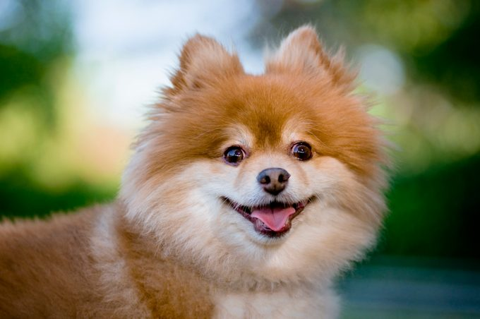 Pomeranian looking at camera with tongue sticking out.More nature and animals images: