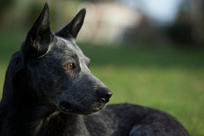 Stumpy tail cattle dog head portrait
