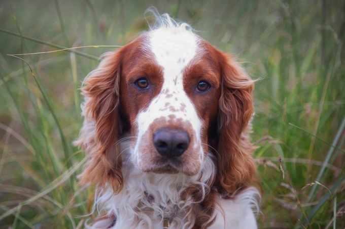 Welsh Springer Spaniel dog portrait looking at camera