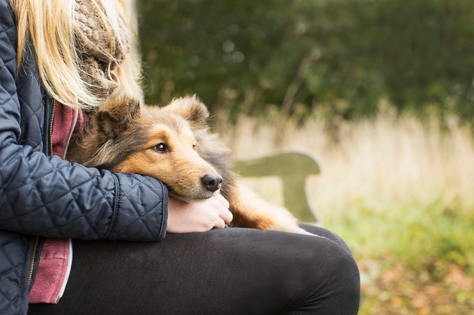 close up of collie dog sitting in girl's lap