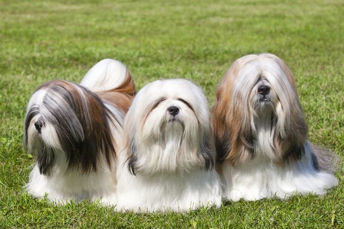 Portrait Of Three Purebred Chinese Lhasa Apso dogs On Green Grass