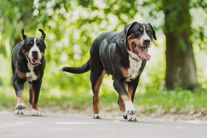 two Greater Swiss Mountain Dogs running outside
