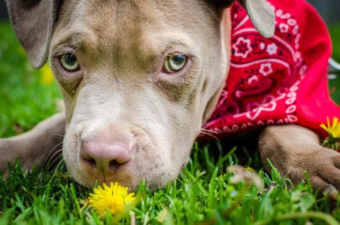 American pitbull terrier puppy outside in the grass