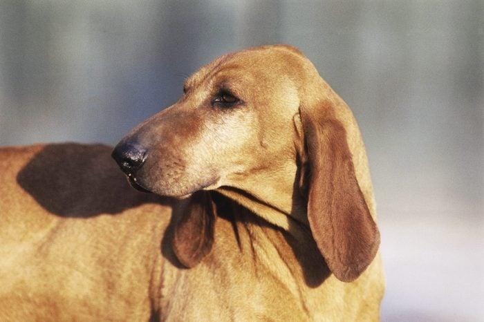Segugio Italiano (Canis lupus familiaris)...
