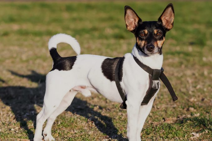 Cute male black tricolor purebred Rat Terrier dog standing in black harness on green grass in a park