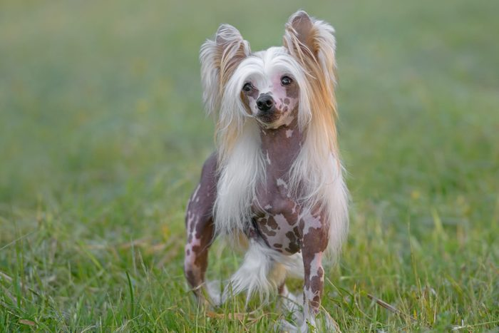 pure breed Chinese Crested dog standing in grass outside