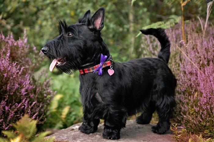 Scottish Terrier Dog standing on a step outside