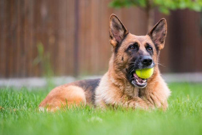 german shepherd dog sitting in grass and holding a tennis ball in mouth