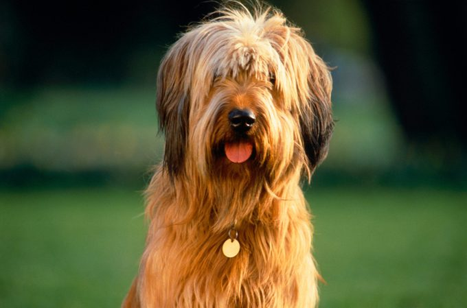 Briard sitting in the meadow