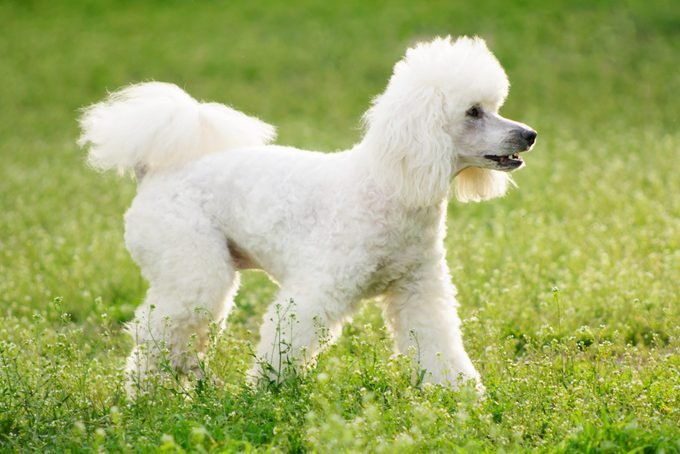 German White poodle dog in a field