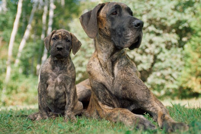 German Great Dane Puppy with Mother