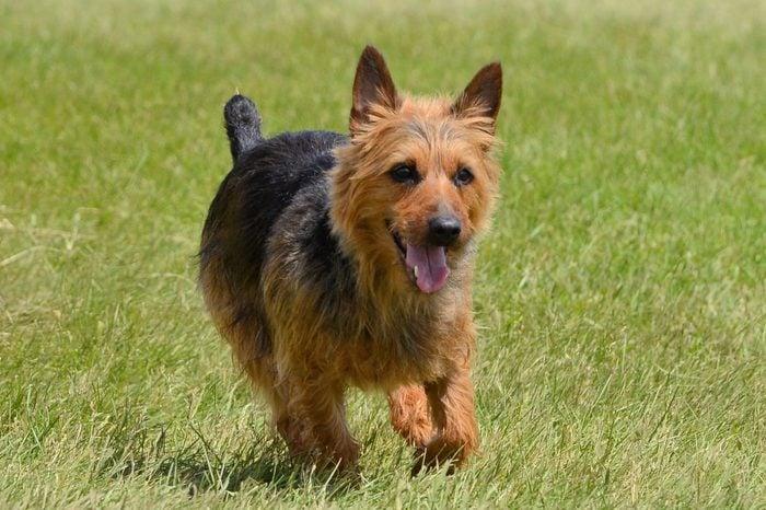Australian Terrier Running