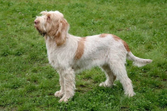 Typical Spinone Italiano dog on a green grass lawn