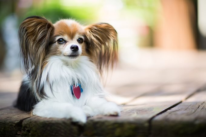 Papillon Dog Laying on Wooden Deck Outdoors