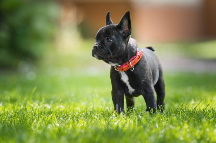 French bulldog puppy standing in grass outside