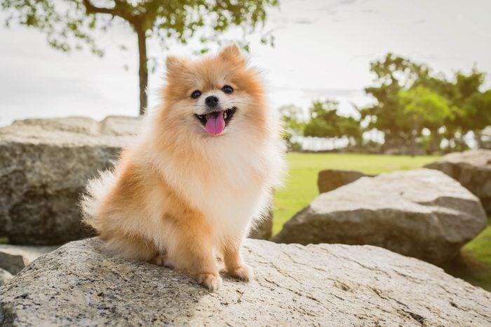 pomeranian dog sitting on a rock outside