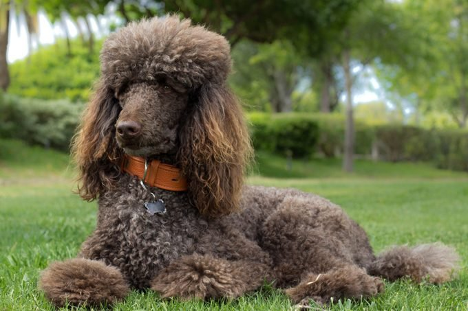 standard Poodle laying in grass