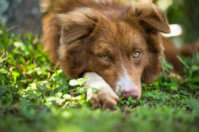 A young Australian Shepherd dog rests his chin in the grass while looking at camera. The sun lights up the foreground grass. Small organic farm in Hawaii.