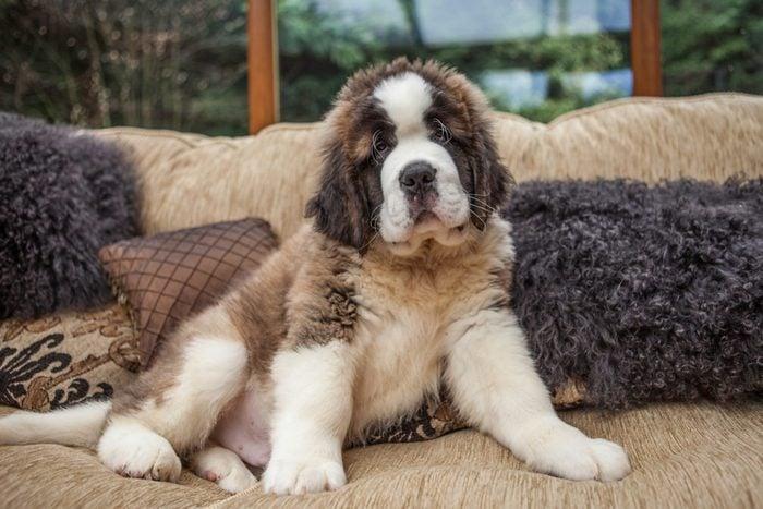 Portrait Of Saint Bernard Puppy Relaxing On Sofa