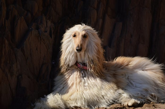 Portrait Of Afghan Dog Relaxing On Field