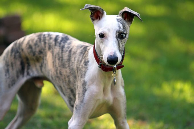 Close-Up Of Whippet Dog