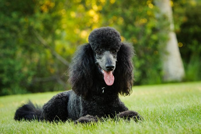 Poodle sitting in the grass outside