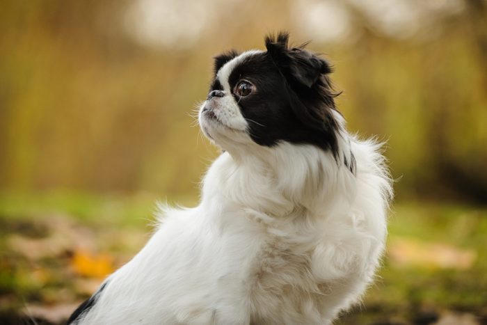 Close-Up Of Japanese Chin Looking Away While Sitting On Field In Park