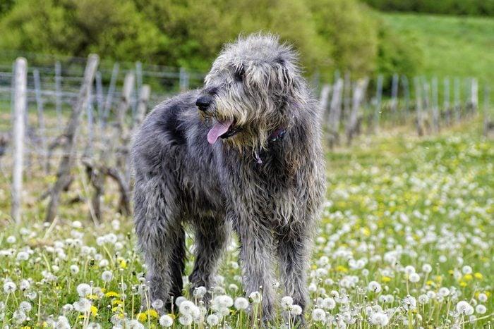 large Irish Wolfhound On Field