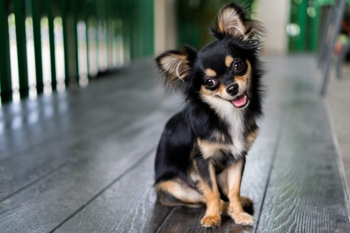 Chihuahua is sitting and happy smile.