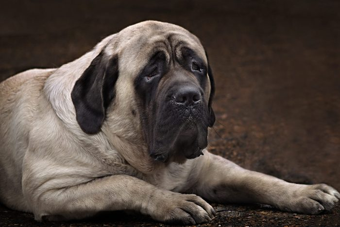 large English Mastiff portrait