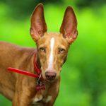 12 Handsome Italian Dog Breeds