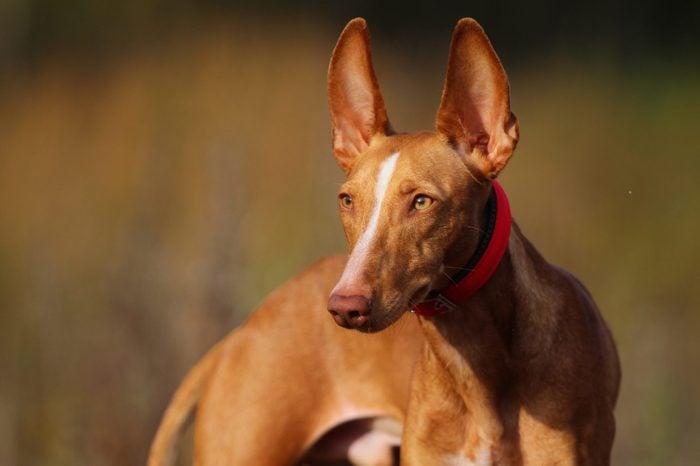 cirneco puppy