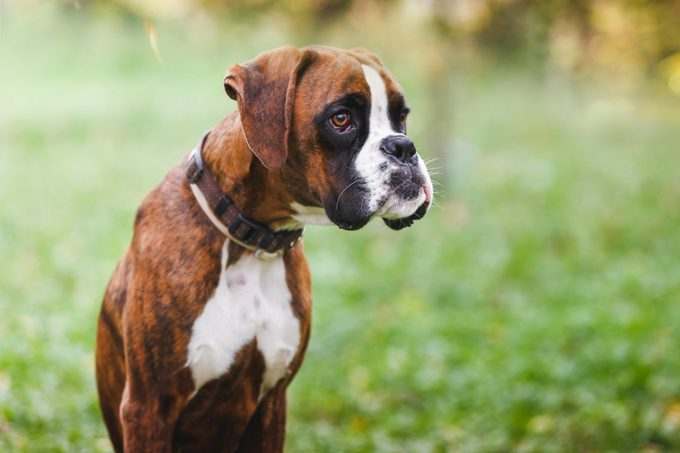 Portrait of boxer puppy sitting on grass in the park