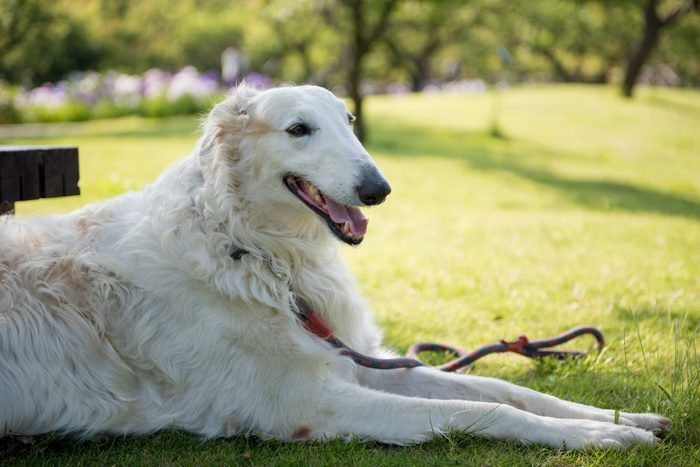 Borzoi dog sitting outsiee