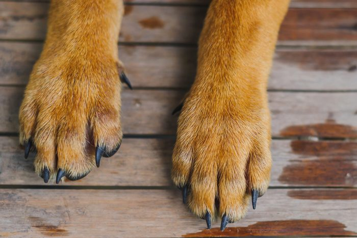 Low Section Of Dog Paws On Floorboard