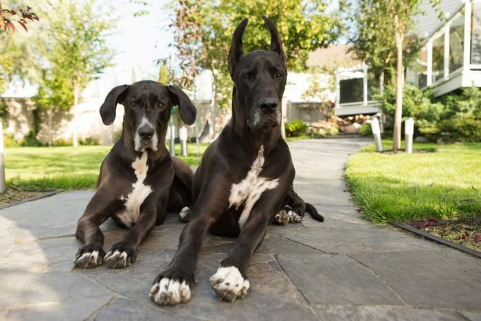 Two large great dane dogs laying on sidewalk