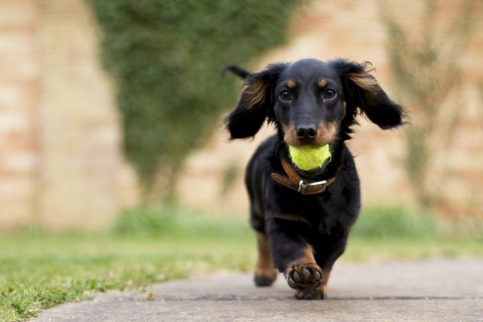 Dachshund puppy dog with a tennis ball in mouth