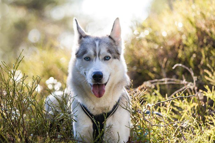 Portrait of husky dog, Norway