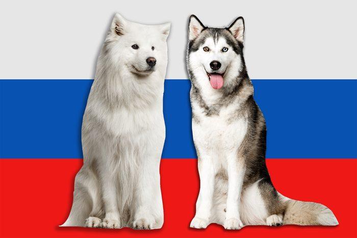 Самоедская и сибирская хаски на фоне российского флага